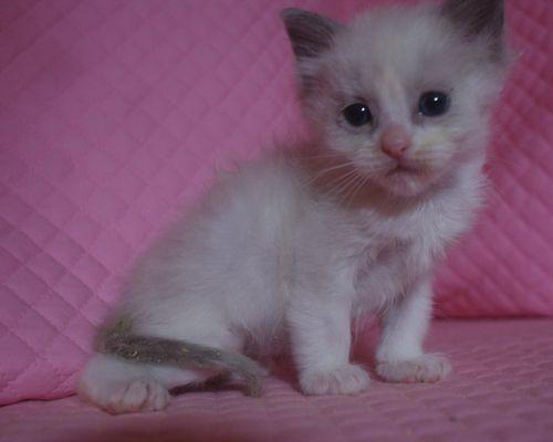 ラグドール子猫 1月7日生まれ ブルーポイントバイカラー男の子_e0033609_21384717.jpg