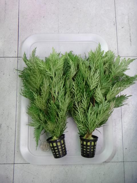 150220 熱帯魚・水草・観葉植物_f0189122_131910100.jpg