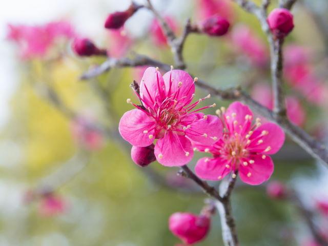 早咲きの梅_a0257652_10195279.jpg