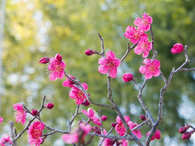 早咲きの梅_a0257652_1020222.jpg