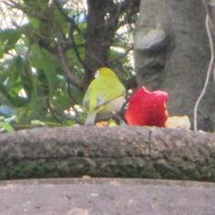 タラちゃんの小鳥観察日記_b0208604_19365588.jpg