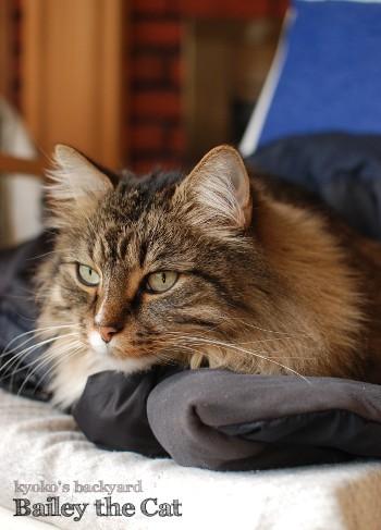 Bailey the Cat_b0253205_06075788.jpg