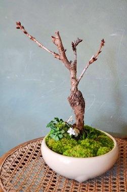 春を楽しむ盆栽ワークショップご案内_d0263815_1645468.jpg