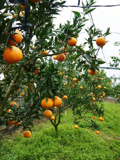 平成27年度 究極の柑橘『せとか』初収穫&初出荷しました!!(その1:せとかの1年)_a0254656_19402020.jpg