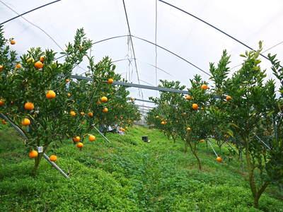 平成27年度 究極の柑橘『せとか』初収穫&初出荷しました!!(その1:せとかの1年)_a0254656_19432060.jpg