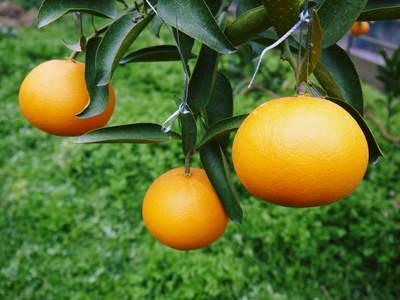 平成27年度 究極の柑橘『せとか』初収穫&初出荷しました!!(その1:せとかの1年)_a0254656_19485869.jpg