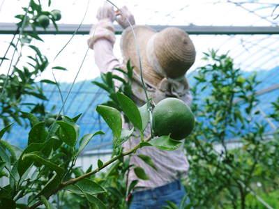 平成27年度 究極の柑橘『せとか』初収穫&初出荷しました!!(その1:せとかの1年)_a0254656_2019556.jpg