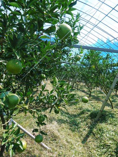 平成27年度 究極の柑橘『せとか』初収穫&初出荷しました!!(その1:せとかの1年)_a0254656_2022943.jpg