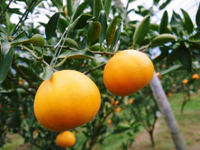 平成27年度 究極の柑橘『せとか』初収穫&初出荷しました!!(その1:せとかの1年)_a0254656_20342191.jpg