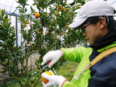 平成27年度 究極の柑橘『せとか』初収穫&初出荷しました!!(その1:せとかの1年)_a0254656_20452578.jpg