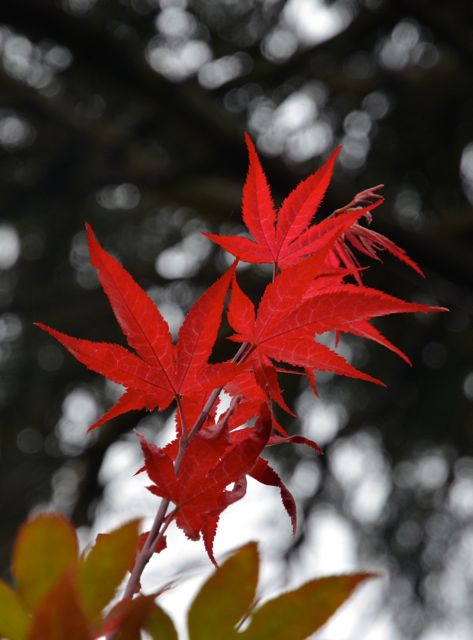 Maples are turning_f0155522_1114557.jpg