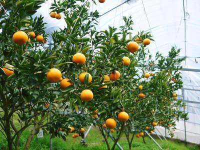 平成27年度 究極の柑橘『せとか』初収穫&初出荷しました!!(その2:今年のせとかも美味い!!)_a0254656_16405335.jpg