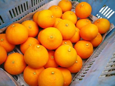 平成27年度 究極の柑橘『せとか』初収穫&初出荷しました!!(その2:今年のせとかも美味い!!)_a0254656_1648124.jpg