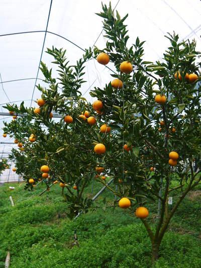 平成27年度 究極の柑橘『せとか』初収穫&初出荷しました!!(その2:今年のせとかも美味い!!)_a0254656_17263367.jpg