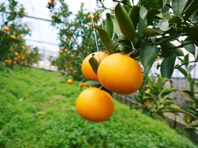 平成27年度 究極の柑橘『せとか』初収穫&初出荷しました!!(その2:今年のせとかも美味い!!)_a0254656_1729162.jpg