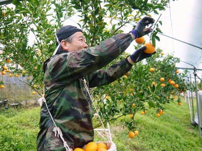 平成27年度 究極の柑橘『せとか』初収穫&初出荷しました!!(その2:今年のせとかも美味い!!)_a0254656_17321148.jpg