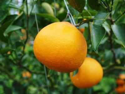 平成27年度 究極の柑橘『せとか』初収穫&初出荷しました!!(その2:今年のせとかも美味い!!)_a0254656_17382112.jpg