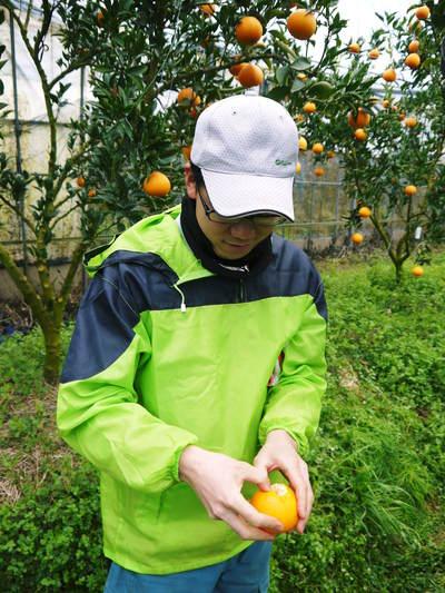 平成27年度 究極の柑橘『せとか』初収穫&初出荷しました!!(その2:今年のせとかも美味い!!)_a0254656_1754672.jpg