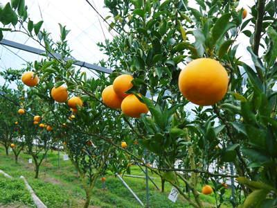 平成27年度 究極の柑橘『せとか』初収穫&初出荷しました!!(その2:今年のせとかも美味い!!)_a0254656_17571582.jpg