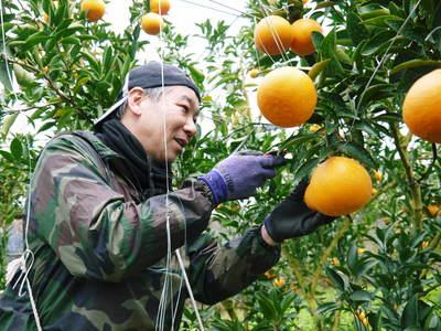 平成27年度 究極の柑橘『せとか』初収穫&初出荷しました!!(その2:今年のせとかも美味い!!)_a0254656_18263721.jpg