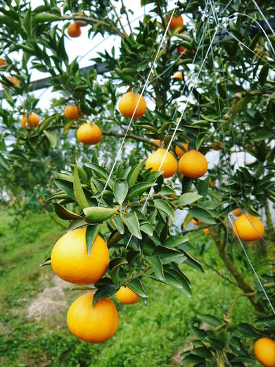 平成27年度 究極の柑橘『せとか』初収穫&初出荷しました!!(その2:今年のせとかも美味い!!)_a0254656_1836462.jpg