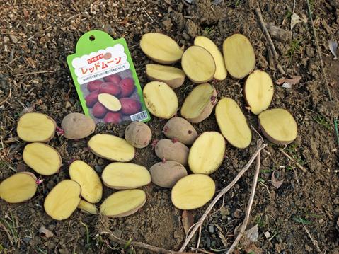 ジャガイモ(レッドムーン、インカリュージュ)植え付け2・21_c0014967_22523486.jpg