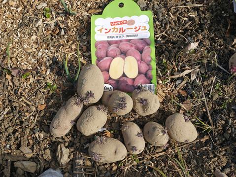 ジャガイモ(レッドムーン、インカリュージュ)植え付け2・21_c0014967_22525325.jpg