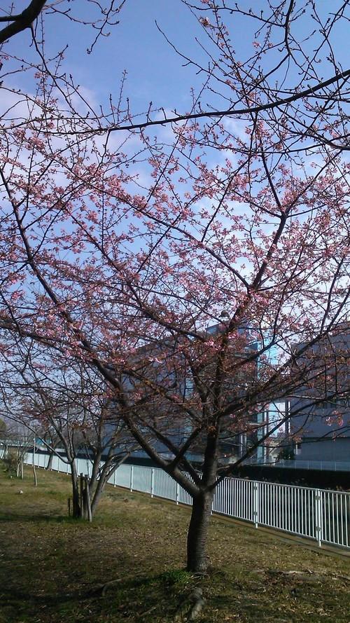 河津桜は3分咲き...ジャンバーからパーカに_b0137932_11154128.jpg