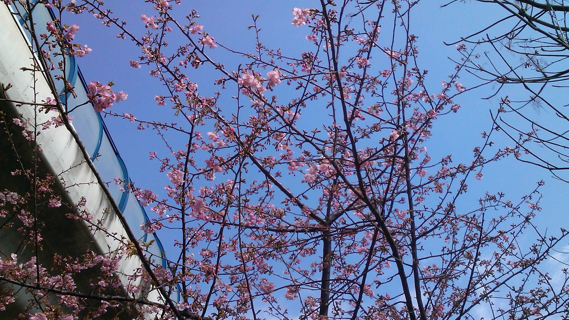 河津桜は3分咲き...ジャンバーからパーカに_b0137932_11161383.jpg