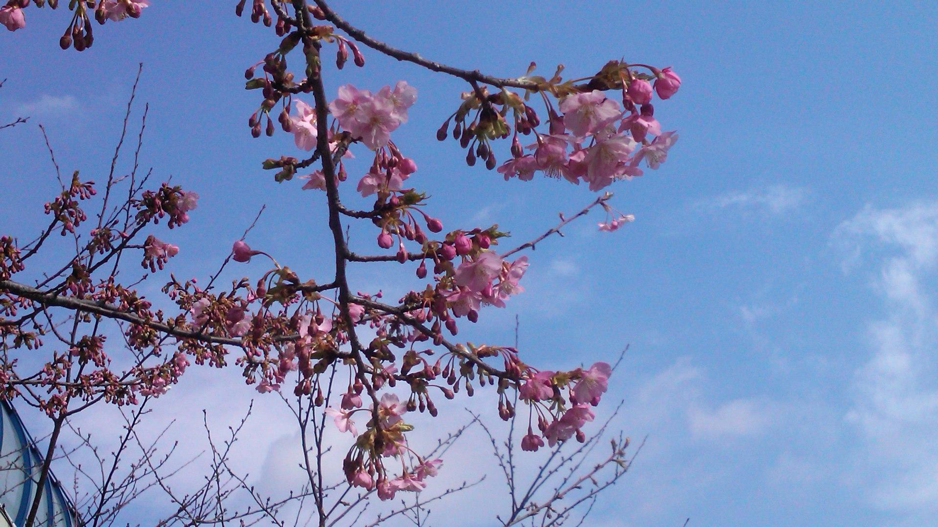 河津桜は3分咲き...ジャンバーからパーカに_b0137932_11163972.jpg
