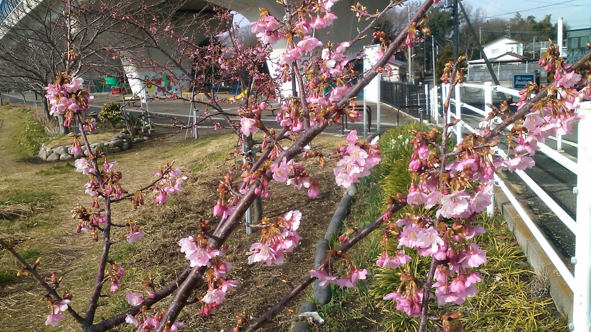 河津桜は3分咲き...ジャンバーからパーカに_b0137932_1118732.jpg