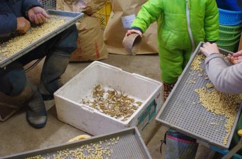 味噌仕込み用の大豆の選別_c0110869_7211618.jpg