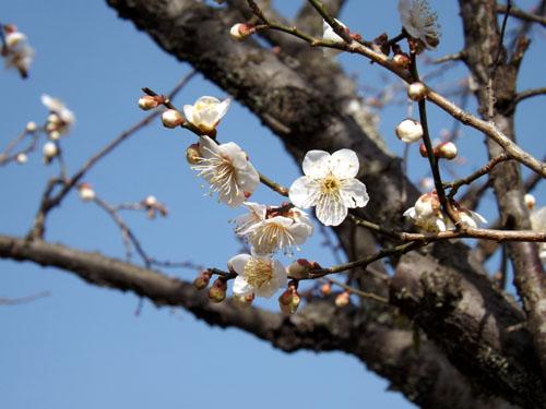 梅が始まった 京都御苑_e0048413_21274194.jpg