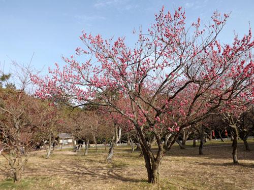 梅が始まった 京都御苑_e0048413_21281227.jpg
