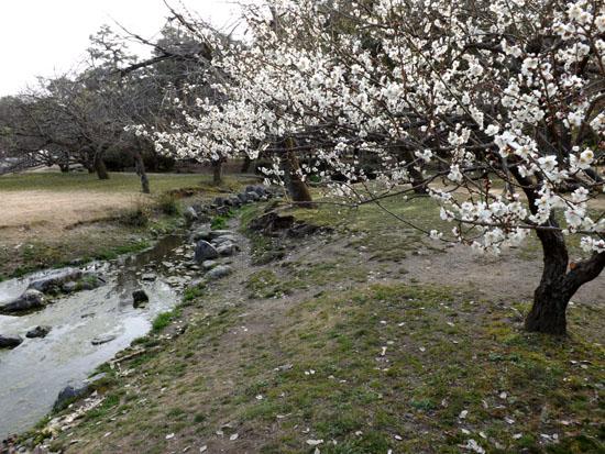 梅が始まった 京都御苑_e0048413_212829100.jpg