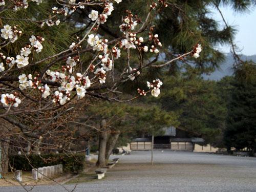 梅が始まった 京都御苑_e0048413_21284989.jpg