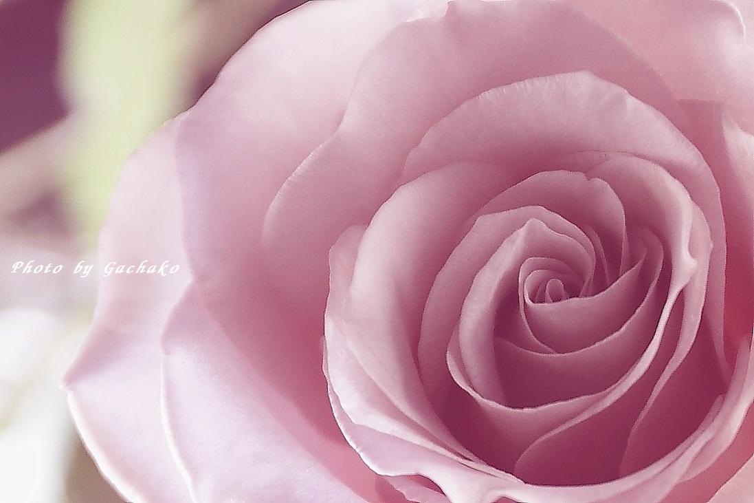 薄紅の薔薇_e0241944_227834.jpg