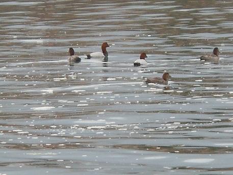 河口に冬のお客様、ホシハジロ_e0175370_1451756.jpg