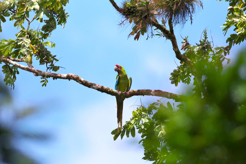 ヒワコンゴウインコ Great Green Macaw_d0013455_9131316.jpg
