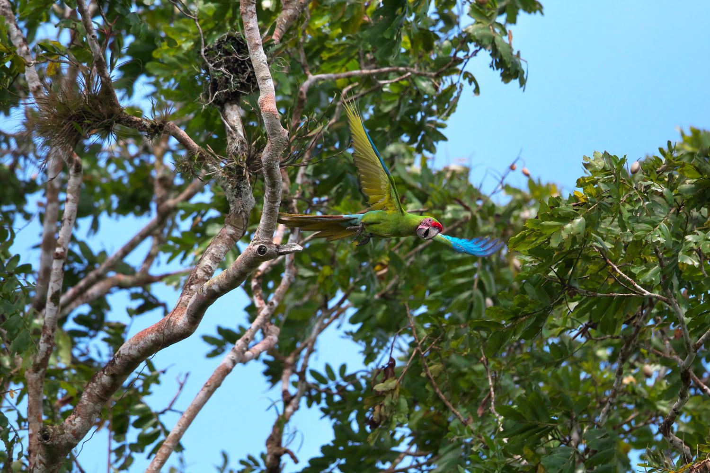 ヒワコンゴウインコ Great Green Macaw_d0013455_9141211.jpg