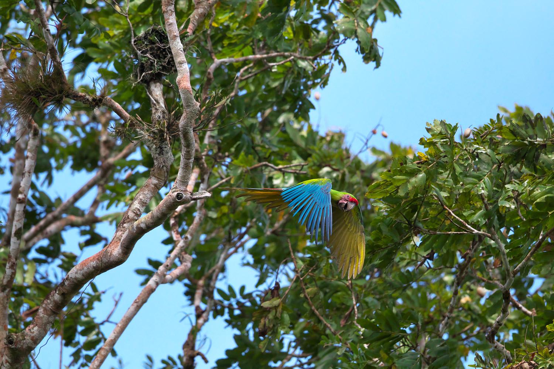 ヒワコンゴウインコ Great Green Macaw_d0013455_9145186.jpg