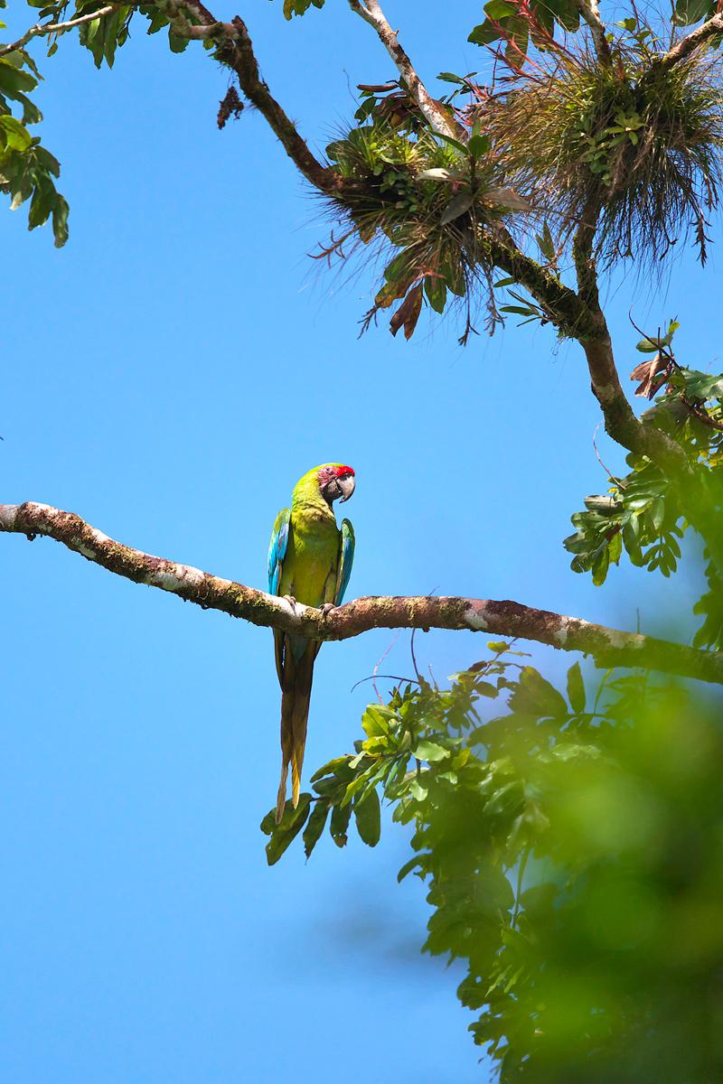 ヒワコンゴウインコ Great Green Macaw_d0013455_9152812.jpg