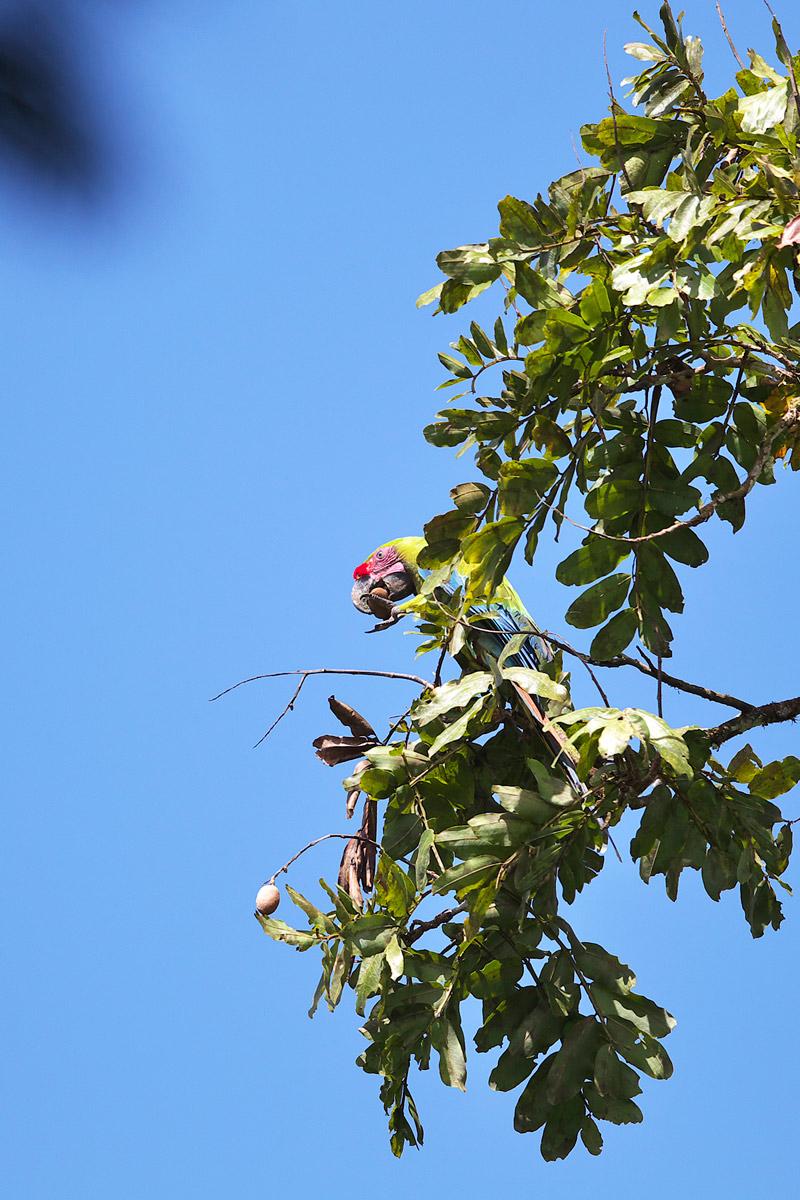 ヒワコンゴウインコ Great Green Macaw_d0013455_9155142.jpg