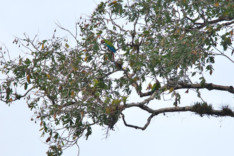 ヒワコンゴウインコ Great Green Macaw_d0013455_9164980.jpg