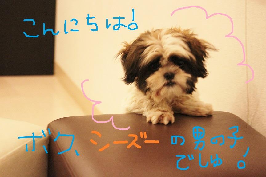シーズーの子犬さん里親募集です♡  → 決定しました♡_c0245679_2241484.jpg