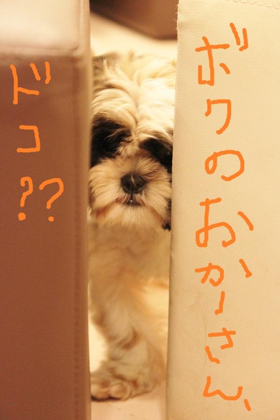 シーズーの子犬さん里親募集です♡  → 決定しました♡_c0245679_22481145.jpg