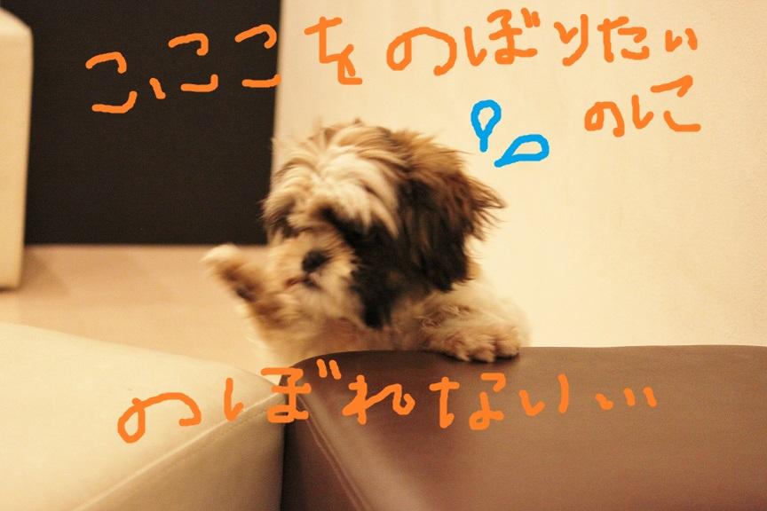 シーズーの子犬さん里親募集です♡  → 決定しました♡_c0245679_22483286.jpg