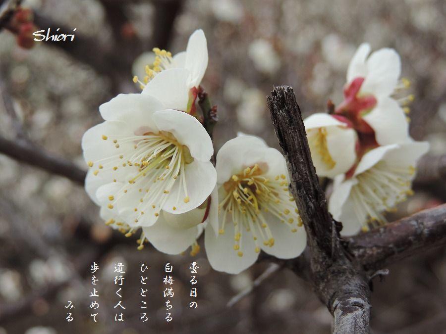 白梅咲いて_c0187781_16202876.jpg