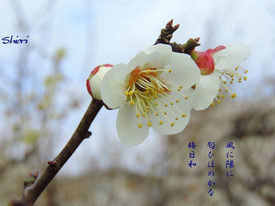白梅咲いて_c0187781_16223104.jpg