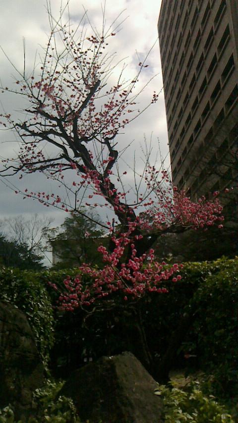 広島市役所、梅が満開_e0094315_1241833.jpg
